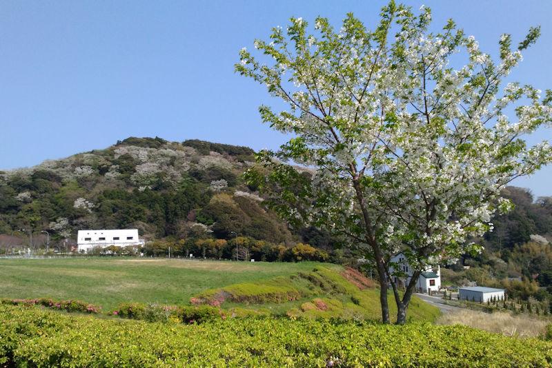 テニスコート近くにある何本かの桜も満開