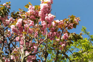 八重桜とボタン