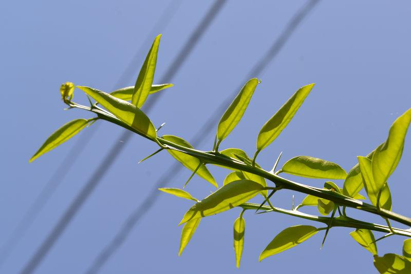 新しく伸びた枝には鋭い棘が