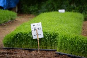 米の苗が棚田の高い場所に