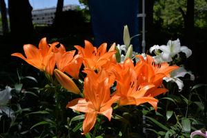 もう一枚ユリの花