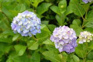 山門近くに咲いていたアジサイ