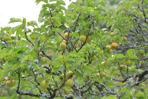 参道脇の梅の木には