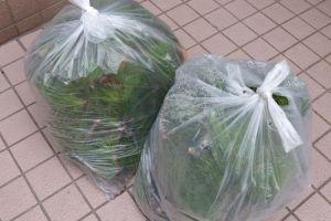 刈った松でゴミ袋は7つにも