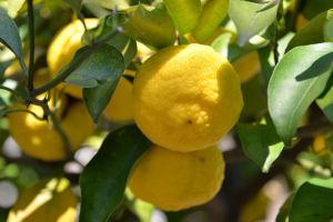 柚子黄色くなってきました