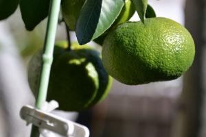 ミカンの木にも大きな実が10個ほど