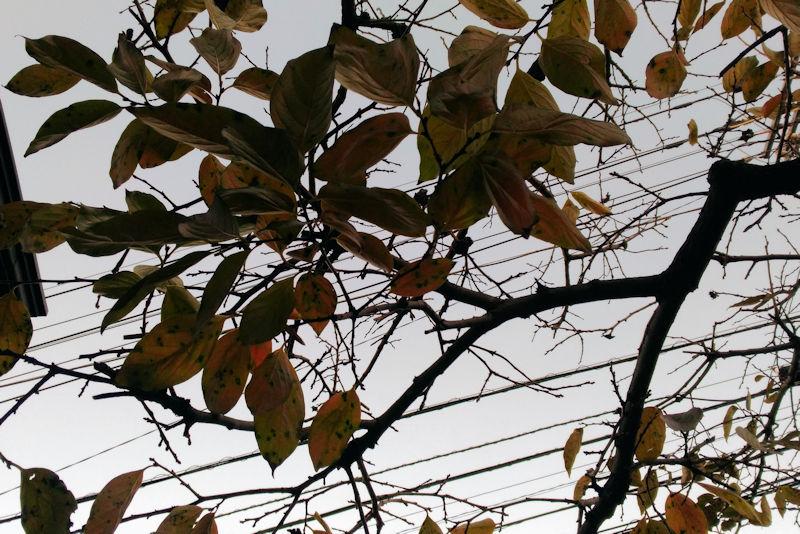 柿の葉もあと少しに