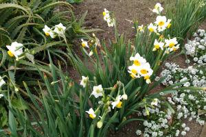 水仙もかわいい花を咲かせています
