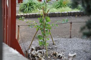 2013年夏の銀杏の木