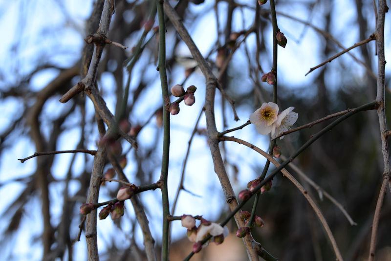 ご近所さんの梅も開花