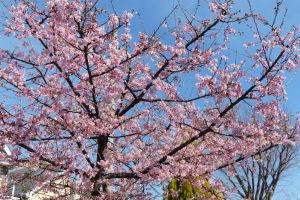 青空に満開の河津桜