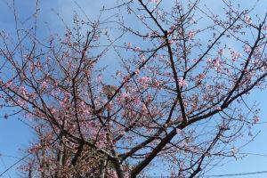 もう1本の河津桜はまだ3分咲き