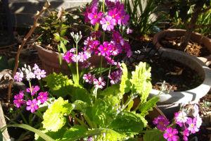 サクラソウもよく咲いています