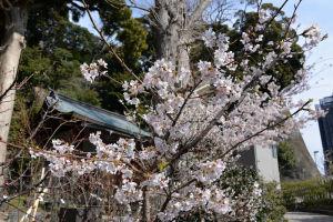 瀬戸神社の桜
