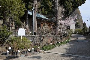 手水舎の右へ行くと桜が