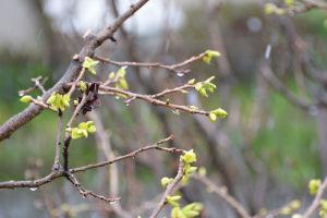 芽を出した柿の木も思わぬ寒さに