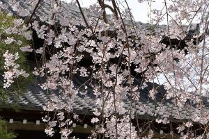 鎌倉本覚寺のしだれ桜
