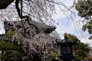 しだれ桜の先の建物は祖師分骨堂
