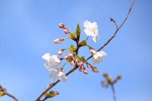 鎌倉 段葛の桜