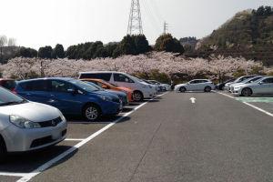 駐車場からみえる桜並木