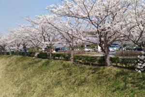 堤に沿って満開の桜並木