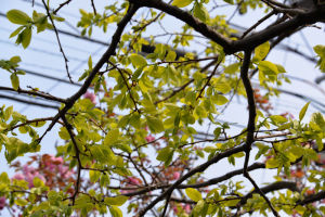 柿の木も葉が大きくなってきました