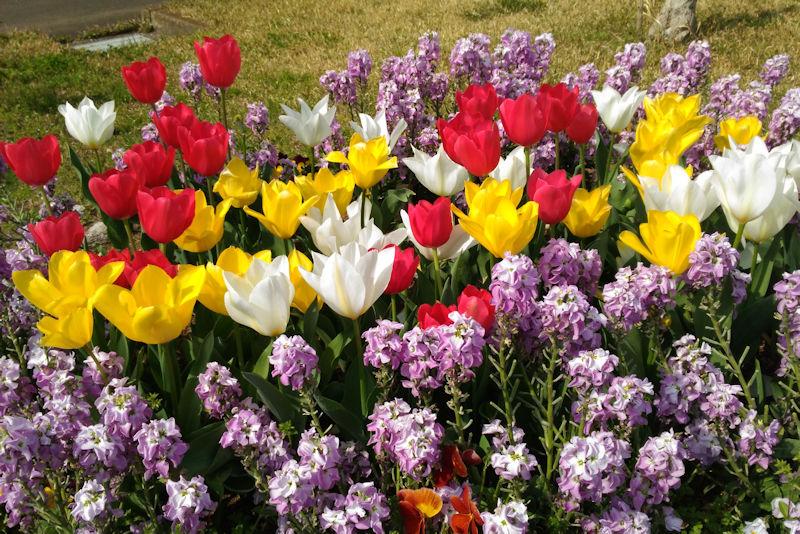 湘南国際村西公園の桜と花々