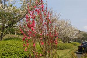 ハナモモもよく咲いていました