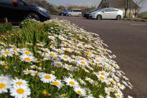ノースポールと言う花のようですが