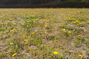 タンポポも一面に咲いていました