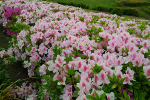 コート周辺のツツジはかなり咲いて