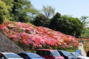 葉山 花の木公園のツツジ