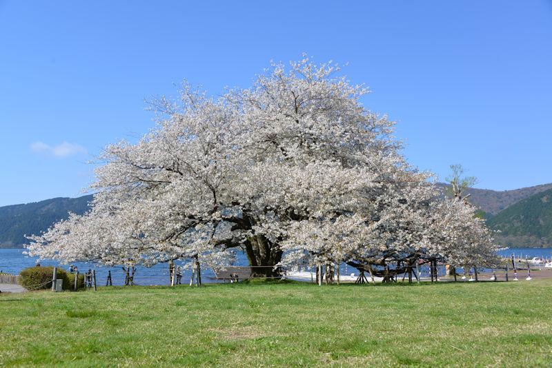 箱根芦ノ湖 箱根園の一本桜
