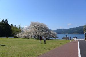 芦ノ湖の湖畔に咲いていました