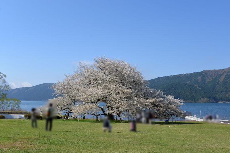 ちょうど見ごろの一本桜