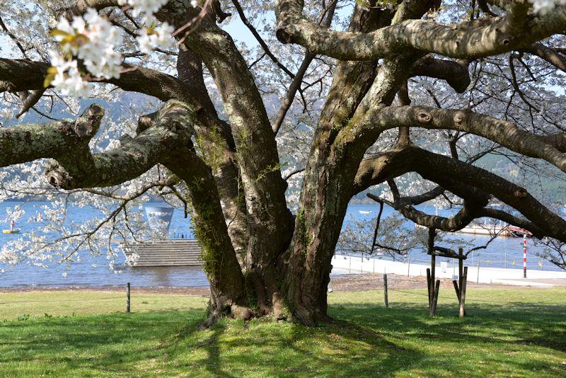 1956年に5本の大島桜を寄せ植えしたものが