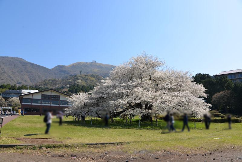 湖畔側からみた一本桜