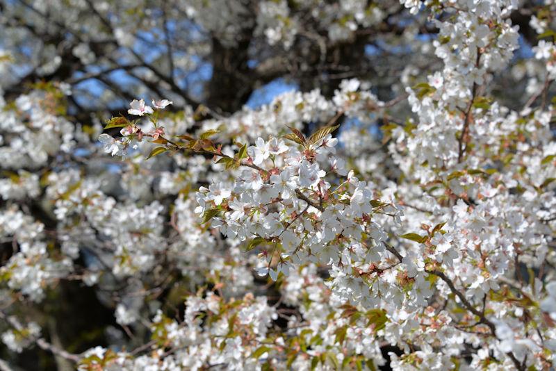 淡い紅白色の花が特徴の大島桜