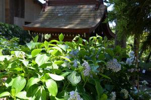 瀬戸神社の山アジサイ