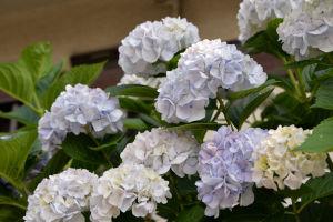 ご近所さんで咲いていたアジサイ