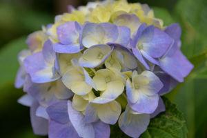 紫とクリーム色のアジサイ