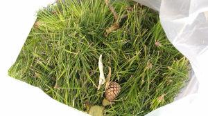 ビニール袋に剪定した松の葉を