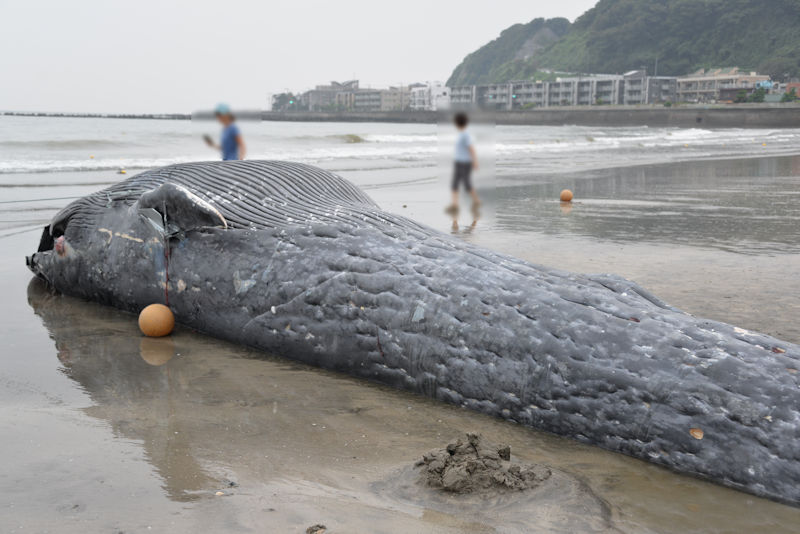 シロナガスクジラでした