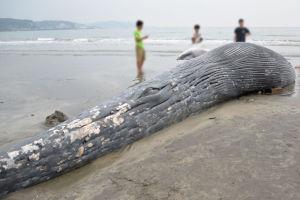 シロナガスクジラが国内の浜辺に打ち上げられたのは