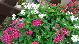 湘南国際村 ペンタスが咲いてます