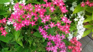 少し色の薄いピンクのペンタス