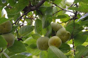 柿の実はまだ青いままです