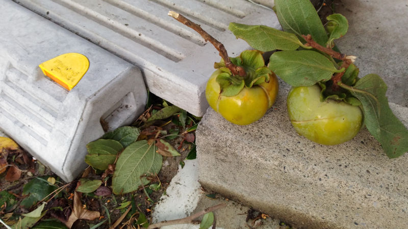 柿が2つ落ちていました