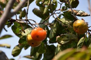 今年は熟した柿が少なく