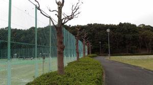 テニスコート脇の木々は葉が散り